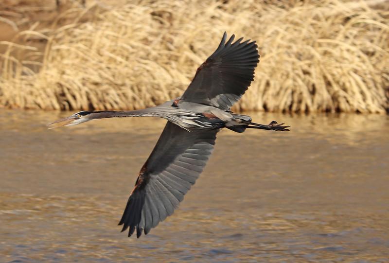 Heron in flight 3