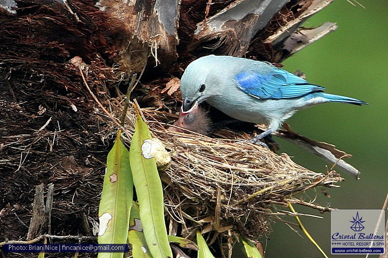 Nature-Bird-Blue-gray Tanager-0800px_0600px-wm.jpg