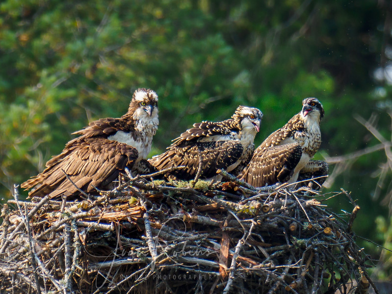 Mom Osprey and her girls