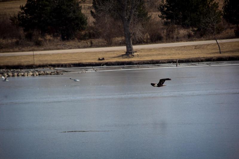 Eagle Soaring lake-7131.jpg