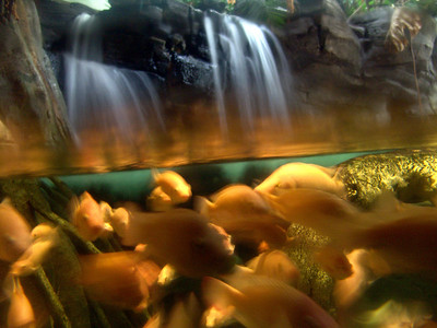 2006-08-07  Lincoln Park Zoo, Aquarium  I actually used the face of the glass as a surface to brace the camera lens against.  The motion you see is the water and the fish moving.  The center where it looks blurry is a reflection and the glass had a lot of smudges on it.  I just liked the way it came out... two contrasting images in one.