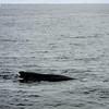 Humpback Whales, St. Anthony, Newfoundland - 2