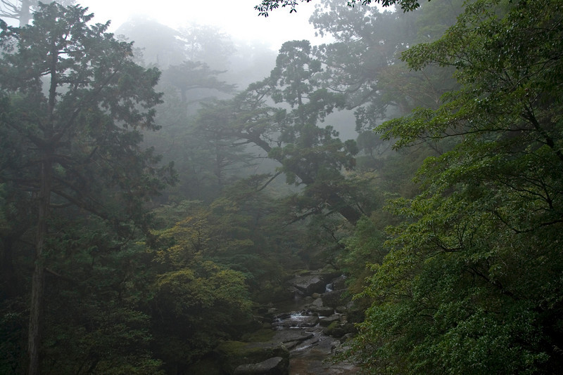 More fog covering the canopy and creek in Yakushima, Japan