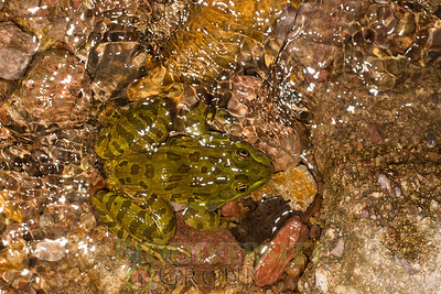 Leopard and Bull Frogs (Ranidae)
