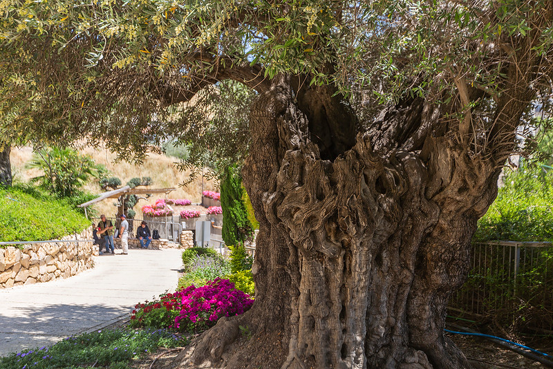 A beautiful ancient olive tree