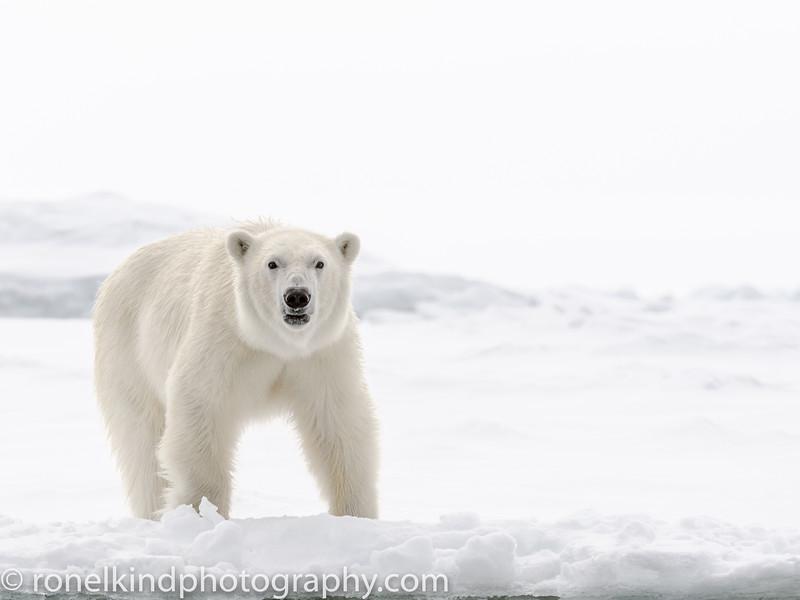 Young Female Polar Bear