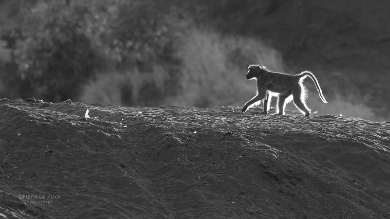 Chacma Baboon, b&w, Mashatu GR, Botswana, May 2017-2.jpg