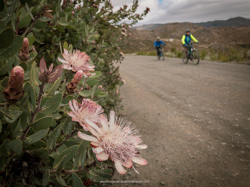 Protea sp. near the summit of Swartberg Pass