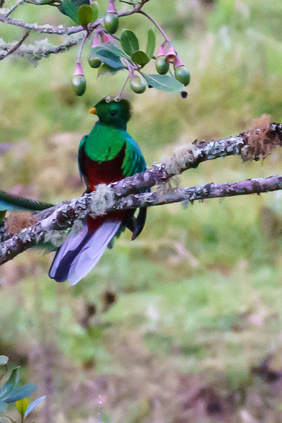 Resplendent Quetzal (Female)