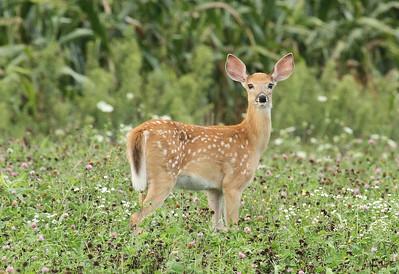 Deer/Fawns