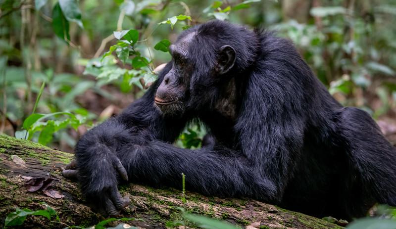 Uganda_T_Chimps-320.jpg