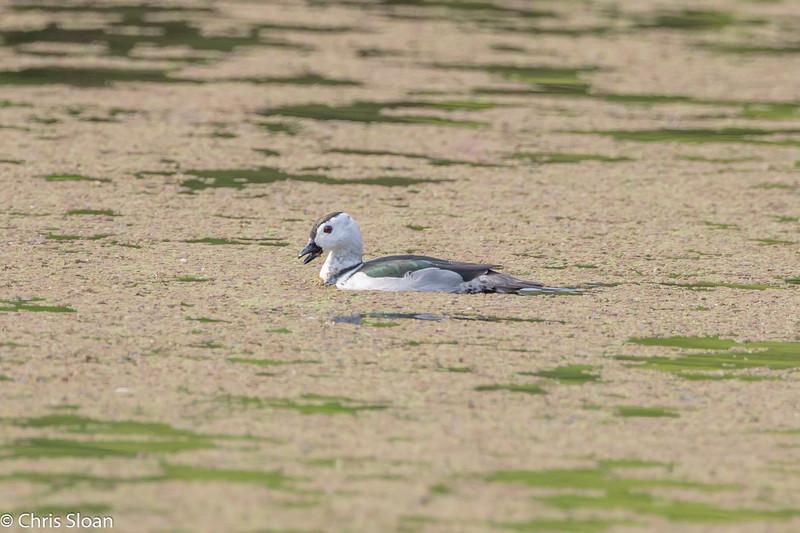 Cotton Pygmy-Goose near Jallipatti, Tamil Nadu, India (02-28-2015) 062-150.jpg