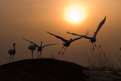 Red Crowned Sacred Cranes