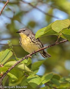 Songbirds 3 (Warblers &Vireos) - Les oiseaux chanteurs 3 (Parulines & viréos)