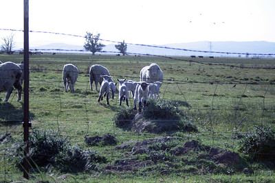 Sheep April 10, 2008