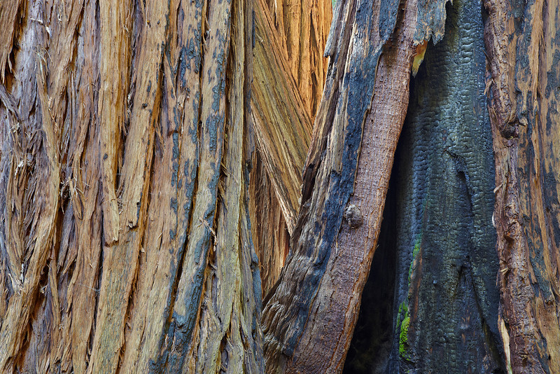 The bark of the coastal Redwood is fire resistant but not completely so. Summer fires can damage the trunks, but they usually grow back.