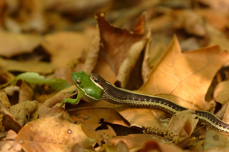 A Green Tree Frog (Hyla cinerea) struggles for its life in the mouth of a Common Garter Snake (Thamnophis sirtalis). Newport News, VA. © 2006 Kenneth R. Sheide