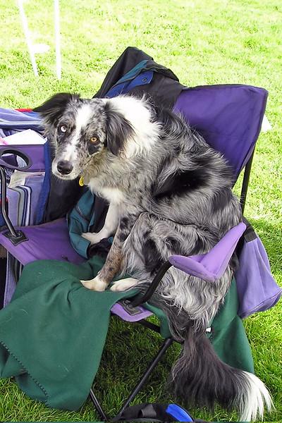 blue merle border collie boost on purple folding chair