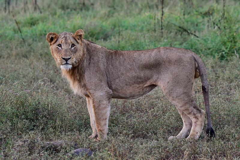 Juvenile male lion mid shot