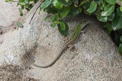 Lizards - Firben