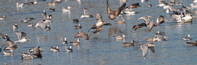 2013-01-12 Gulls