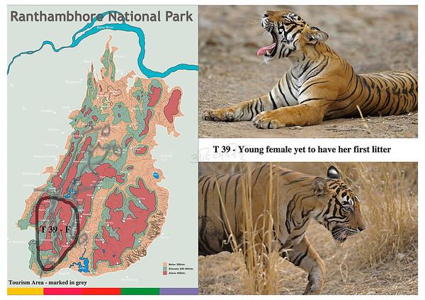 T 29 Ranthambore tiger