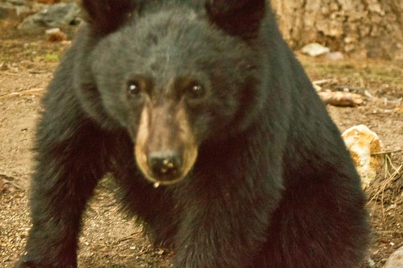 Black Bear  Mammoth Lakes 2013 04 26 (6 of 6).CR2