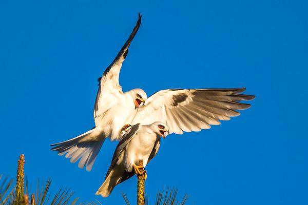 White-tailed-kite mating