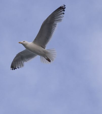 Shore Gulls