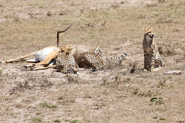 Cheetah Feast Mara Kenya 2015