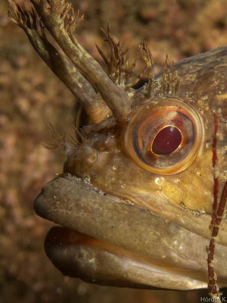 Sarcastic Fringehead, closeup