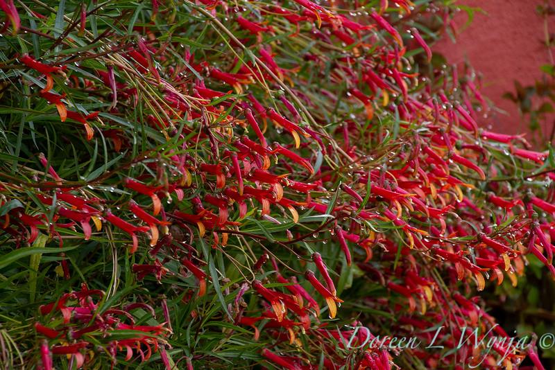 Lobelia laxiflora ssp. angustifolia_2243.jpg