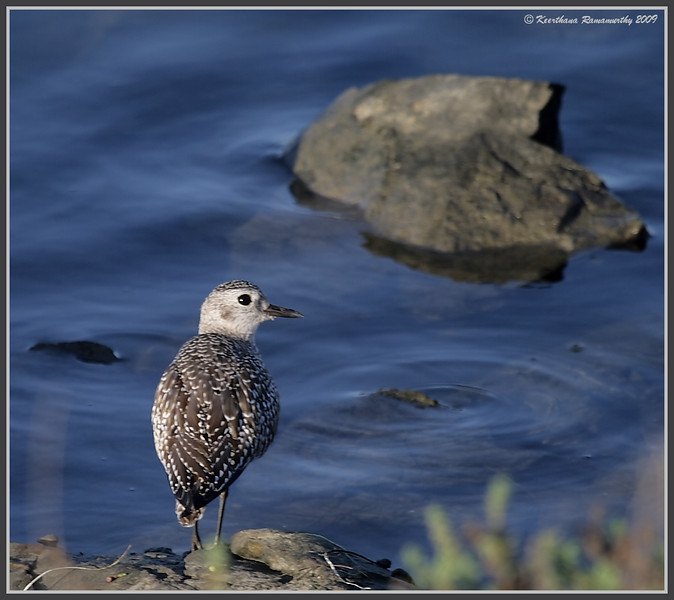 Black-Bellied Plover, Robb Field, San Diego River, San Diego County, California, October 2009