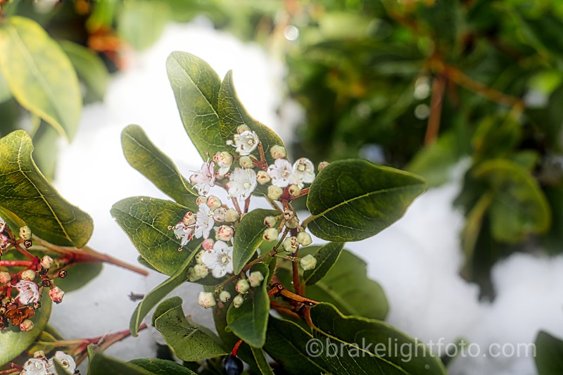 White flowers in snow
