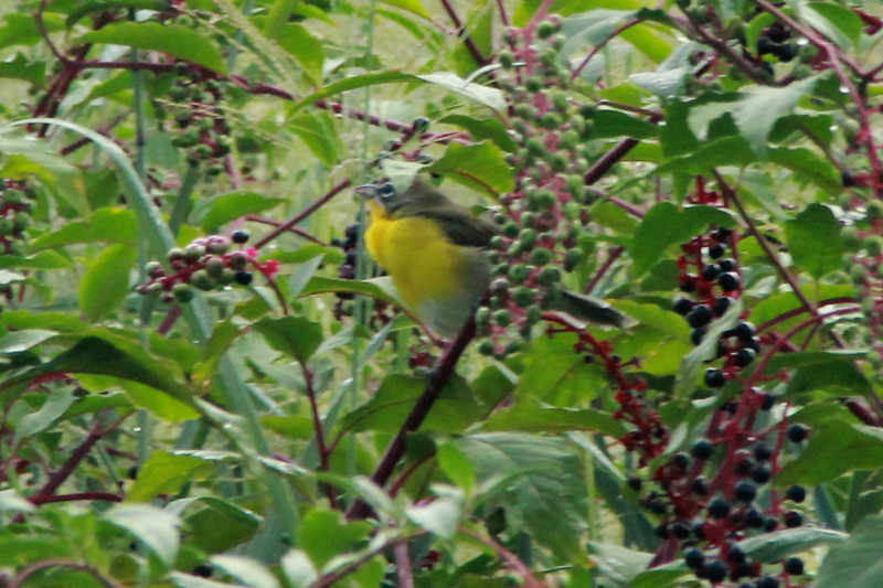Yellow-breasted Chat @ Runge CNC