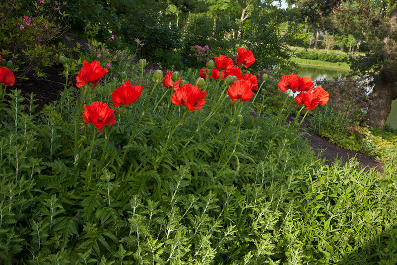 Red Poppies 4