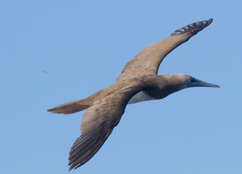 Brown Booby San Diego Waters 2015 01 01-5.CR2-3.CR2