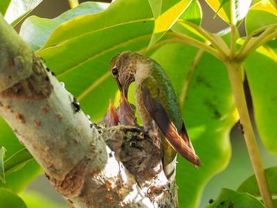 Hummingbird Folder