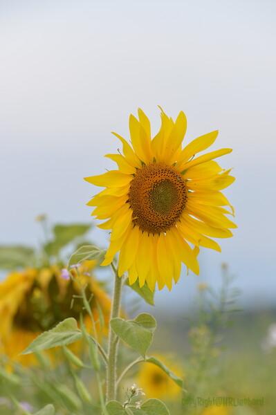 Sunflower Lonay_20092020 (51).JPG