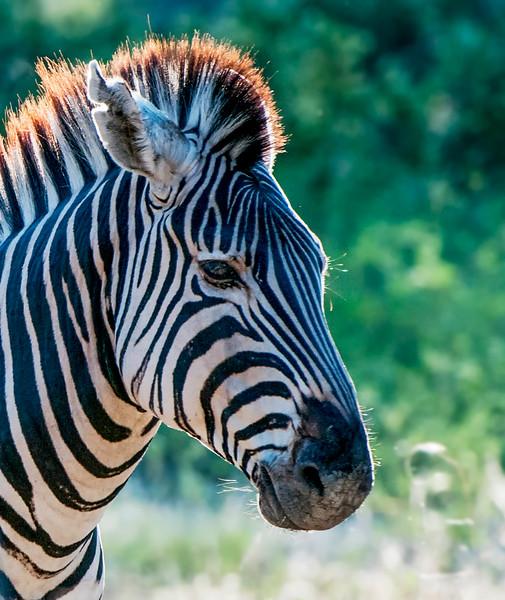 Zebra-16.jpg