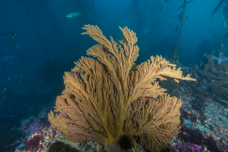 Big California Golden Gorgonian