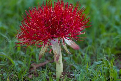 African flora