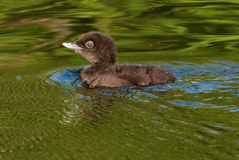 Loon - Common - baby - Dunning Lake, MN - 03