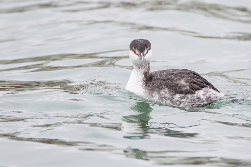 Horned grebe, nonbreeding plumage