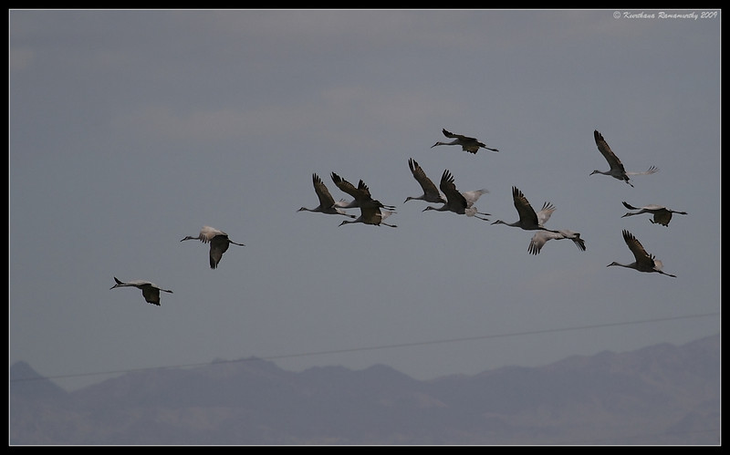 Sandhill Cranes, Salton Sea, Imperial County, California, November 2009