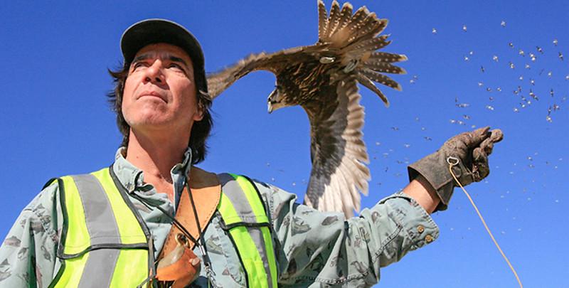 Master falconer flies Sakar falcon to haze seagulls at a landfill.