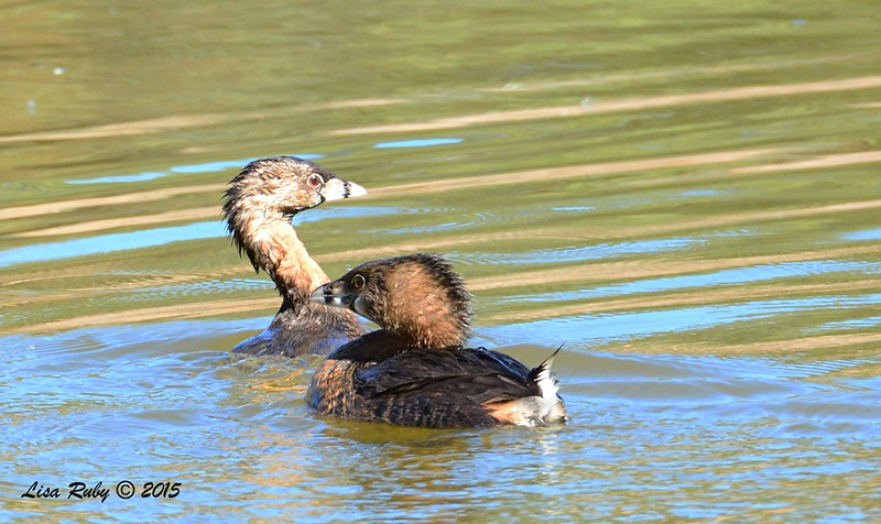 Pied-billed Grebes - 2/8/2015 - Poway Pond - these two were feuding