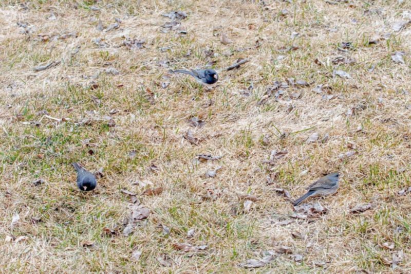 Gail Marchessault- A Triangle of Juncos1.jpg
