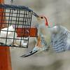 red bellied woodpecker - male