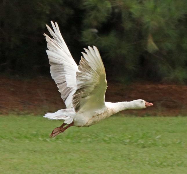 White goose 4